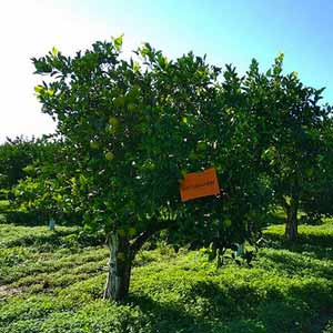 Sicilian oranges Product Certification