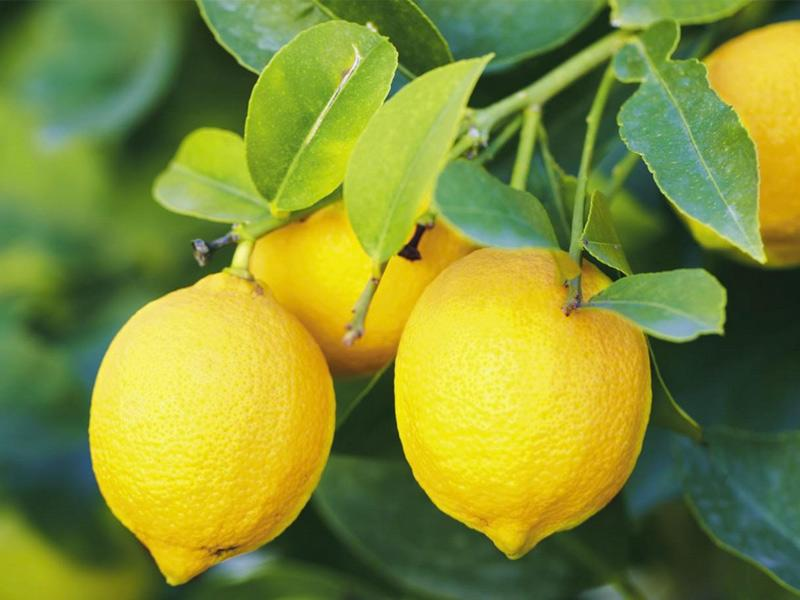 LEMONS IN PACKAGE OF 16 Kg.